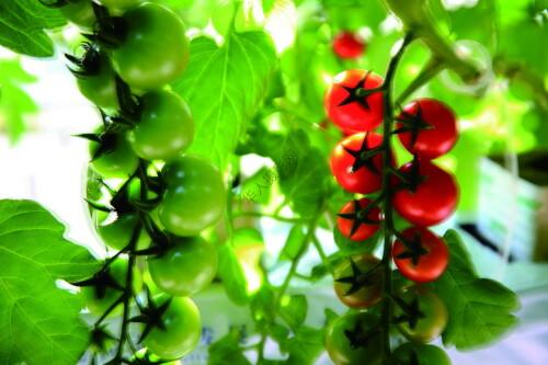 一等奖《无土栽培的小西红柿》作者:陆启辉